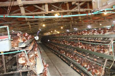图为农安县小城子乡玉华蛋鸡养殖场